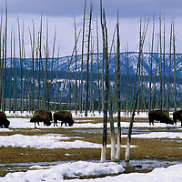 YELLOWSTONE N.P., Bison grazing in meadow between trees burned in great Yellowstone fires.