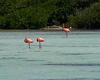 American Flamingo (Phoenicopterus ruber). Kralendijk, Bonaire. Image taken with a Nikon D3s camera and 70-300 mm VR lens.