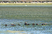 California sea otters or southern sea otters, Enhydra lutris nereis ( threatened species ), resting in a raft while wrapped in eel grass or eelgrass, Zostera sp. to keep from floating away, Elkhorn Slough, Moss Landing, California, United States ( Eastern Pacific )
