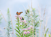 When I saw this picture perfect Swamp Milkweed and grasses, I set the camera on the tripod and hoped for a Monarch to notice the flowers too.  Love the image that came together.