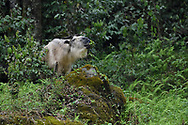 Adult Golden Takin, Budorcas taxicolor, photographed standing in a forest and feeding on leaves in Tangjiahe National Nature Reserve, NNR, Qingchuan County, Sichuan province, China