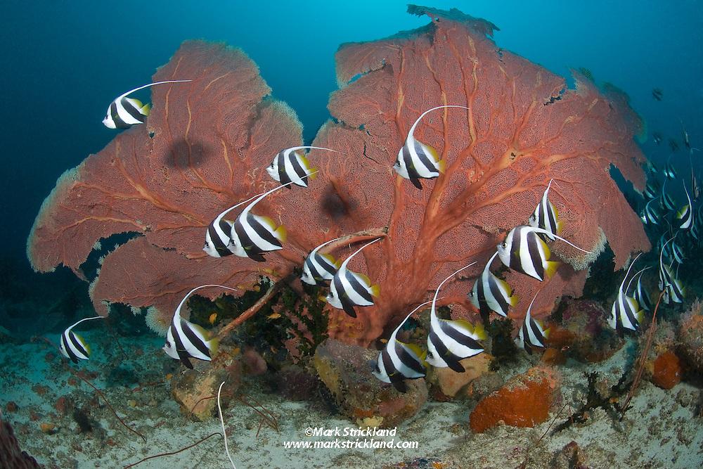Schooling Bannerfish, Heniochus diphreutes, parade past a large fan coral. Fish Rock, Andaman Islands, India, Andaman Sea / Bay of Bengal