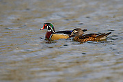 Photographs of ducks and geese in Southern California