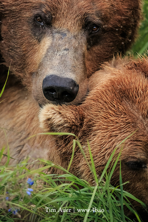 Mating Alaskan Brown Bears <br /> Katmai National Park, Alaska, USA<br /> <br /> While in Katmai National Park I had the opportunity to observe the courting behaviors of bear 856(male) and bear 402(female).  From talking to the park naturalists, I had been aware that 402 had abandoned her yearling cub and may have gone into estrus, while big and burly 856 was hot in pursuit. Having this knowledge in the back of my head, I understood the motivations behind the playful teasing and flirting the pair exhibited.   At times their behavior was cute, but most of the time it was as you would expect for a bear: aggressive.  856 behaved like a jealous boyfriend. He would let his frustration be known to his fellow bears at the falls by chasing them off.  <br /> <br /> In a vain attempt at understanding, humans are prone to project our own emotions onto animal behavior, and this photo exemplifies this human tendency.  Captured in the heat of the moment, the image appears to show a moment of tenderness between the loving bear couple in a bed of wildflowers...and the brutal nature required to survive in the harsh Alaskan environment..