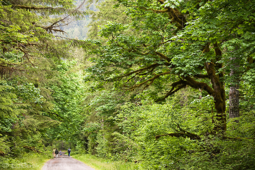 Hikers stroll through a Bigleaf Maple grove along an Olympic National Forest Service Road in the Duckabush Valley of the Olympic Peninsula in Washington, USA