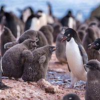 Adult Adelie penguins communicate with their chicks on Brown Bluff in Antarctica.