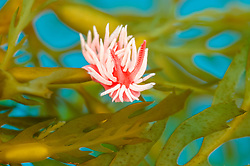 Hopkin's Rose Nudibranch, Hopkinsia rosacea, Catalina Island, Channel Islands, California, Pacific Ocean