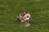Giant otter swimming in the peruvian Amazon jungle at Madre de Dios Peru