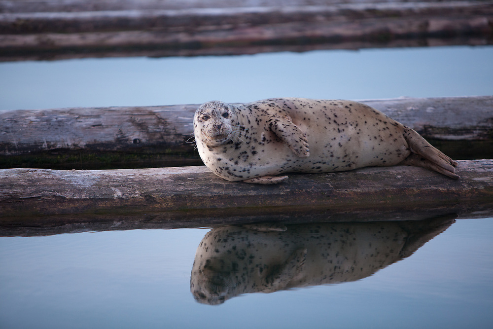 North America, United States, Washington, Everett, Harbor Seal (Phoca vitulina)  on dock with reflection, 10th Street Marina Park at the Port of Everett