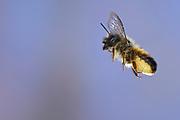 Osmia bicornis, Osmia rufa, red mason bee, mason bee, female | Rote Mauerbiene, Rostrote Mauerbiene (Osmia bicornis)
