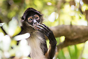 Grooming is an essential part of the Geoffroy's spider monkeys (Ateles geoffroyi) day.