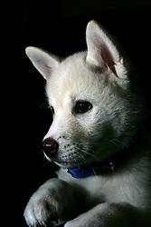 Filhote da raça de cahorros Akita, oriundos do Japão. FOTO: Jefferson Bernardes/Preview.com