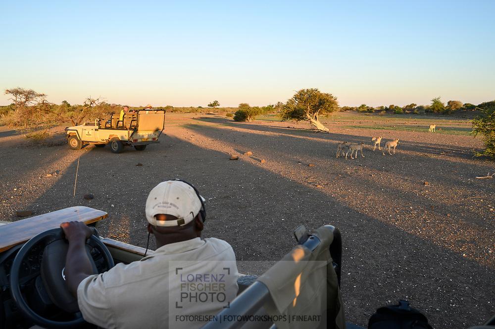 Eine Gepardenmutter mit vier Halbwüchsigen (Acinonyx jubatus) neben Safarifahrzeugen nach einem erfolglosen Jagdversuch, Tuli Block, Botswana<br /> <br /> A cheetah mother with four adolescents (Acinonyx jubatus) next to safari vehicles after an unsuccessful attempt to hunt, Tuli Block, Botswana