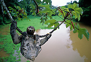 Three-toed Sloth hanging from limb of Cecropia tree over river - Amazonia, Peru.