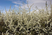 Blackthorn hedge, Wyck Rissington, England, Gloucestershire, United Kingdom