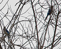 Blue Jay's in a tree. Image taken with a Nikon D3s camera and 400 mm f/2.8 lens.