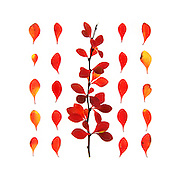 Bright red and yellow barberry twig and leaves on white background: fall foliage, Bar Harbor, Maine