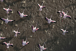 """Pretty in Pink <br /> <br /> Photographer and guide Paul Goldstein has spent thirty years showing people the Rift Valley in Kenya from ground level, for want of a change he has taken to the skies. <br /> <br /> The Wimbledon-based guide for Exodus Travels says: """"Lake Magadi in Kenya is one of the less fabled Rift Lakes lacking the box office of Bogoria or Nakuru, but it is just as rewarding. Greater and Lesser flamingos flourish in these alkaline rich soda lakes and only a few miles of game-rich valley floor separates Magadi from the Northern tip of Lake Natron. <br /> <br /> """"Ever since I saw Denys Finch Hatton fly across these lakes in Out of Africa, I have been mesmerised by the vast shimmering flocks of these birds, aware how parlous their existence is. Too much rain destroys the alkaline content of the soda lakes and can irrevocably alter their diet and breeding patterns. <br /> <br /> """"A sunrise flight is both dramatic and literally uplifting as the long shadows from the early sun gild the pink and red birds. However, it is late afternoon when the Lake really excels, as the wind meticulously sculpts the soda patterns into intricate and indeed beautiful patterns. <br /> <br /> """"On this day there were plenty on show and the bird's eye view down a long lens was utterly captivating."""" <br /> Paul has run fifteen marathons in a tiger suit for charity. This year (2020) he will run the London marathon AND run the Mount Everest marathon wearing the tiger suit for the 'Worth More Alive X' tiger preservation charity.<br /> <br /> Where: Rift Valley, Kenya<br /> When: 21 Jan 2020<br /> Credit: Paul Goldstein/Cover Images"""