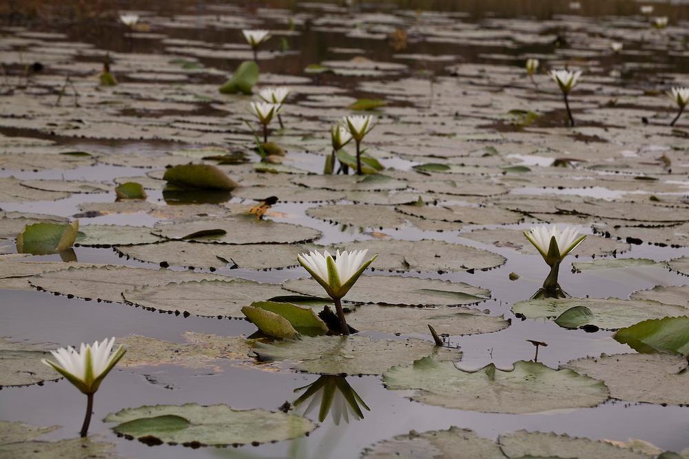 Carlos Chagas_MG, Brasil...Plantas aquaticas em Carlos Chagas, Minas Gerais...Aquatics plants in Carlos Chagas, Minas Gerais...Foto: LEO DRUMOND / NITRO