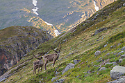 Two reindeer on steep mountain slope
