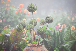 Allium seedheads in a terracotta forcer in the vegetable garden. Chard in the background