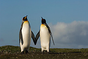 King Penguins (Aptenodytes p. patagonica) <br /> Volunteer Point, Johnson's Harbour, East Falkland Island. FALKLAND ISLANDS.<br /> RANGE: Circumpolar, breeding on Subantarctic Islands. Extensive colonies found in South Georgia, Marion, Crozet, Kerguelen and Macquarie Islands. The Falklands represent its most northerly range. They are highly gregarious which probably accounts for it common association with colonies of Gentoo Penguins.<br /> King Penguins are the largest and most colourful penguins found in the Falklands. They have a unique breeding cycle. The incubation of one egg lasts for 54-55 days and chick rearing 11-12 months. As the complete cycle takes more than one year a pair will generally only breed twice in three years.
