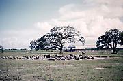 Water buffalo wallowing in water pool on farm on northern plain of Trinidad c 1962