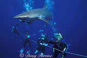 divers and silky shark, Carcharhinus falciformis, Tongue of the Ocean, off New Providence, Bahamas ( Atlantic Ocean )