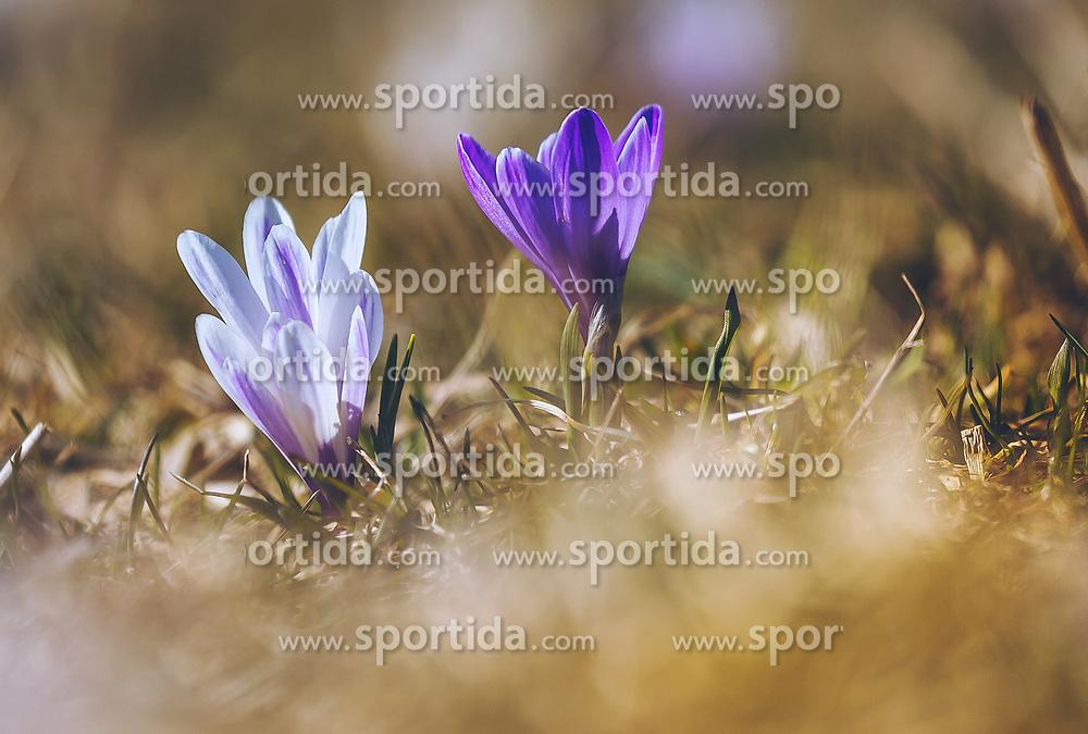 THEMENBILD - lila Krokusse (Iridaceae) blühen auf einer Wiese, aufgenommen am 30. März 2019, Kaprun, Österreich // purple crocuses (Iridaceae) blooming on a meadow on 2019/03/30, Kaprun, Austria. EXPA Pictures © 2019, PhotoCredit: EXPA/ Stefanie Oberhauser