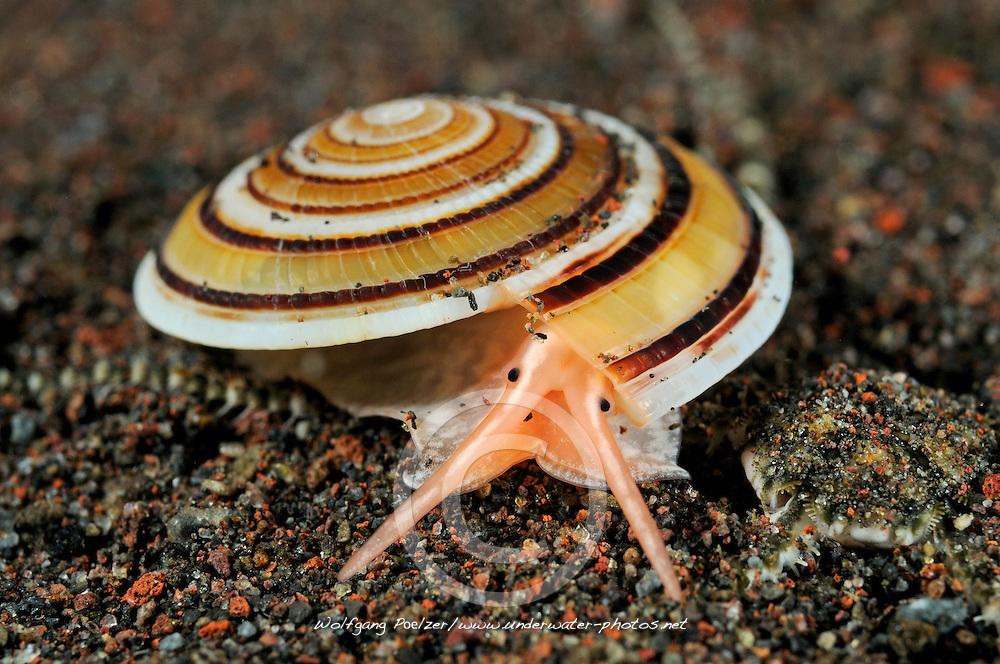 Architectonica sp., Sonnenschnecke, marine snail, Tulamben, Bali, Indonesien, Indopazifik, Indonesia, Asien, Indo-Pacific Ocean, Asia