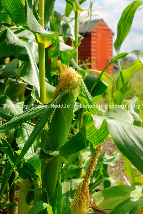 Sweetcorn Growing at Allotments, Essex, Britain - August 2009