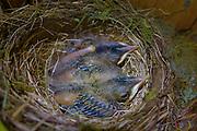 robin nest bird chicks