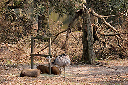 03 September 2005. New Orleans, Louisiana.  Post Hurricane Katrina.<br /> An emu and fellow zoo animals amidst the broken tree limbs at the zoo.<br /> Photo Credit ©: Charlie Varley/varleypix.com