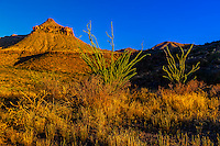 Ocotillos (desert plants) along Ross Maxwell Scenic Drive in Big Bend National Park, Texas USA.