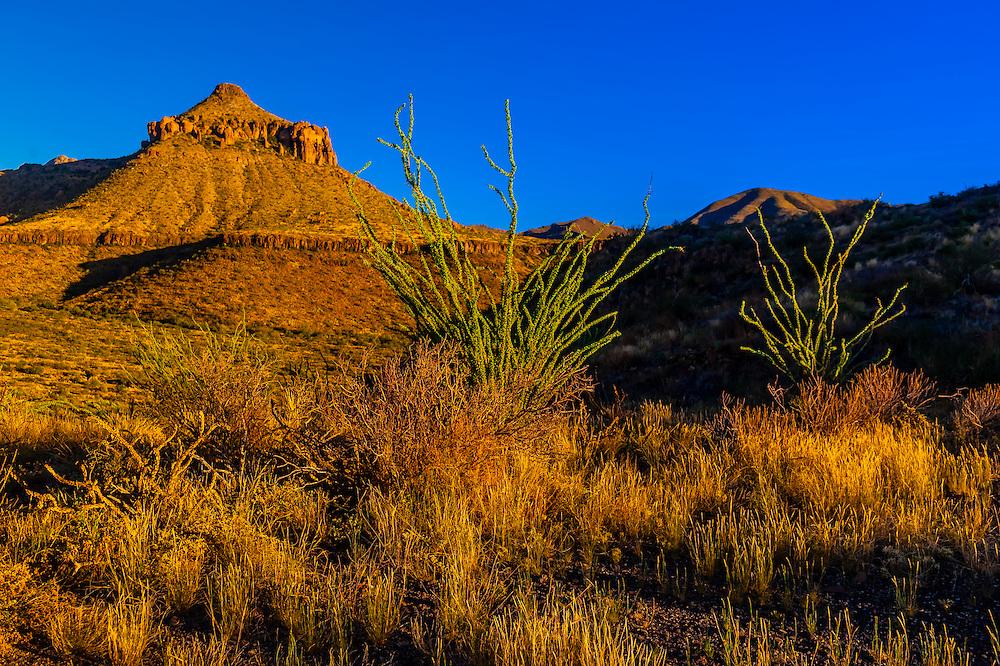 Ocotillos (desert plants) along Ross Maxwell Scenic Drive in Big Bend National Park, Texas USA.