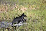 Black bear in habitat Black bear adult swimming and running in habitat