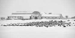 Sheeps at winter at the farm Villingaholt, sooth Iceland - Kindur að vetri við Villingaholt
