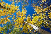 Aspen grove in the San Juan mountains of Colorado