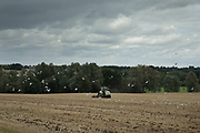 Tractor working surrounded by seagulls under a grey sky, recently cut crop fields and trees in the distance near to Hatfield Peverel, England, United Kingdom.