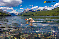 Swimming in Bowman Lake in Glacier National Park, Montana, USA MR