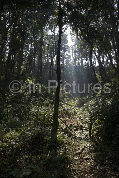 Sun breaking through the trees on a coffee plantation. Coorg or Kadagu is the largest coffee growing region of India, in the state of Karnataka, the inhabitants - the Kodavas have been cultivating crops such as coffee, black pepper and cardamon for many generations.