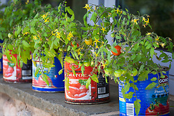 Row of tomatoes grown in recycled tomato tin containers on a window ledge at Holt Farm. Tomato 'Tumbling Tom'