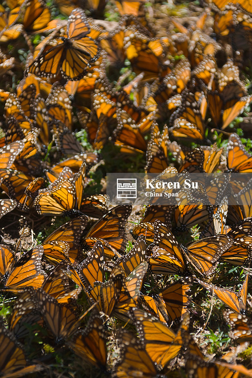 Clusters of Monarch butterflies on the pine tree, Michoacan, Mexico