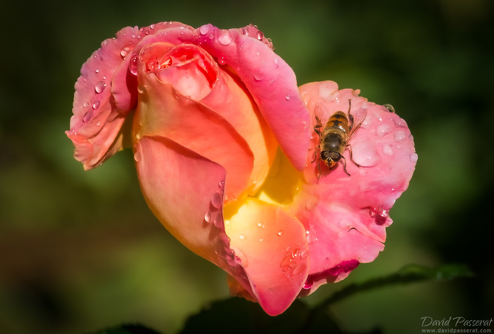 Bee on the petals of a rose.