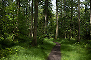 Woodland trees along a nature trail in Shropshire on 6th June 2021 in Ludlow, United Kingdom. These woods either side of the pathway are a mix of pine or confierous and deciduous.