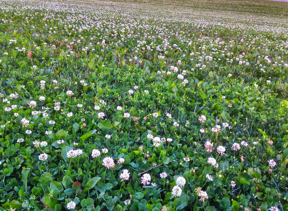 Clover is a happy plant.Be like a field of clover.Be really happy!