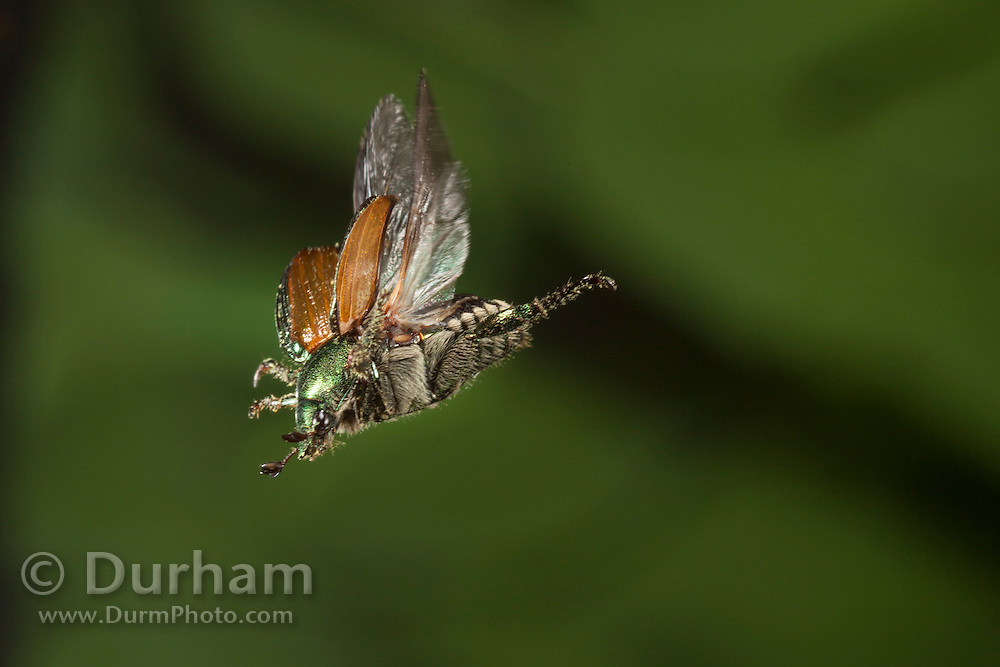 A japanese beetle (Popillia japonica) in flight - Tennessee. These insects damage plants by skeletonizing the foliage, that is, consuming only the leaf material between the veins, and may also feed on fruit on the plants if present.)