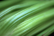 Extreme close up selective focus photograph of a stalk of fresh celery