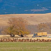 A hay truck drives past a herd of Elk (Cervus canadensis) grazing in a field near Bozeman, Montana.