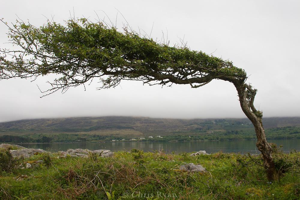 Windblown tree on island in Kenmare Bay, County Kerry, Ireland